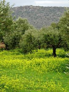 blommor olivlund kreta berg