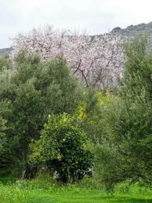 mandelträd grönska kreta olivträd buske
